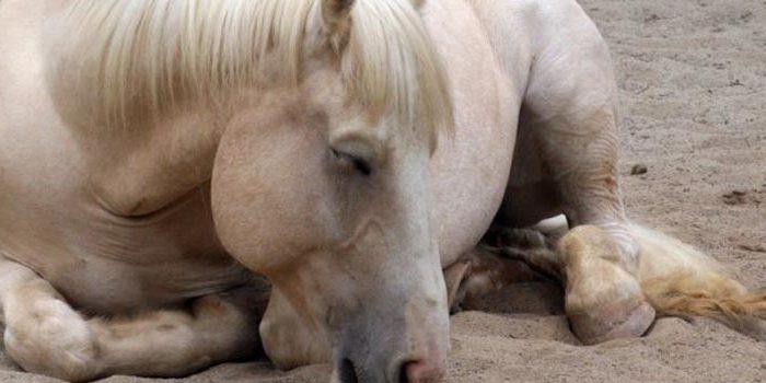 Infecciones de caballos